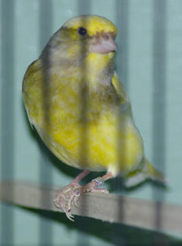 Greenfinch - Simple English Wikipedia, the free encyclopedia