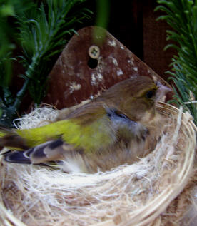 European Greenfinches or Greenfinches | Beauty of Birds