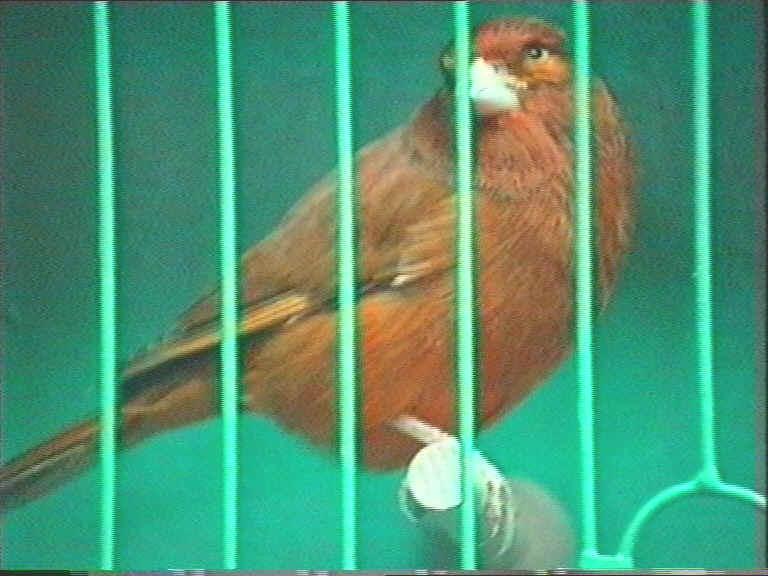 Гибридизация канарейки с отечественными видами вьюрковых птиц. Greenfinch_x_Canary_2