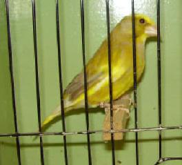 Breeding Finches - Finch Info